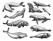 Fur Seal, Steller Sea Lion And Walrus, Ribbon And Elephant, Earless And Harbor Seal. Marine Creatures, Nautical Animal Or Pinnipeds. Vintage Retro Signs. Doodle Style. Hand Drawn Engraved Sketch