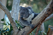 The Young Koala Is Climbing Up The Branch