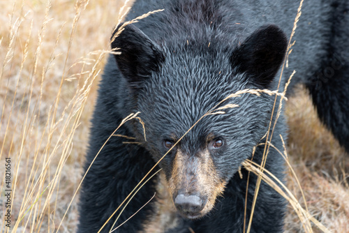 Tela An isolated young wild black bear cub looking out from among trees