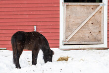 A Young Pony With Black And Brown Hair Eating Hay Scattered On The Snow Covered Ground. There's A Red Bard With A Wooden Door In The Background. The Animal Has A Long Tail And Thick Mane.