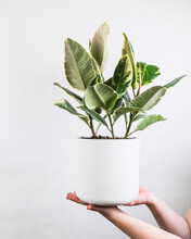 Person Holding A Potted Rubber Fig Against A Gray Wall