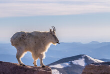 USA, Colorado, Mt. Evans. Mountain Goat Sticking Out Its Tongue Atop Rock.