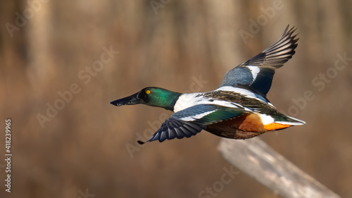 Slika na platnu Northern Shoveler duck in flight
