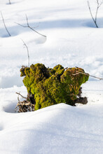 Lonely Tree Stump Overgrown With Green Moss In The Snow, Creative, Vertical
