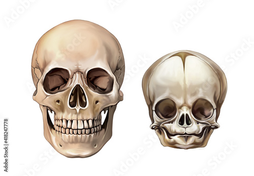 Fotografiet Child and adult skull anatomy