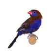 Purple grenadier aka Granatina ianthinogaster bird, sitting on wooden stick. Isolated on a white background.