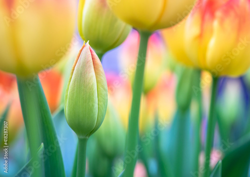 Holland tulips in the garden, close-up. Bright spring flowers with bokeh background and copy space. © Repina Valeriya