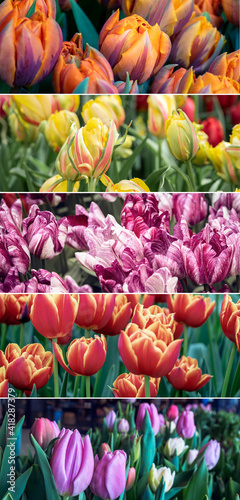 Collection of blooming tulip flowers with various sorts of Holland tulips for your web banner or flyer. © Repina Valeriya