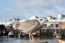 Young Seagull Standing On A Harbour Wall