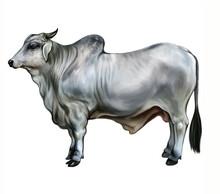 Beef Indicus (Bos Taurus Indicus)