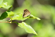 A Pretty Common Checkered-skipper Butterfly Perching On A Green Leaf With Shallow Depth Of Field And Blurry Background