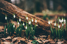 White Snowdrop Flowers In Spring Forest.