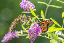 Orange Monarch Butterfly Perched On Purple Flower Of Butterfly Bush On Sunny Summer Day