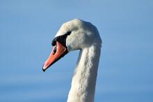 Mute Swan Side Portrait
