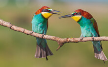 Pair Of Bright Colorful Bee-eater Birds