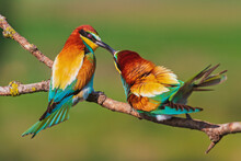 Spring Colorful Birds Kissing On The Branch