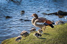 Egyptian Goose With Her Goslings