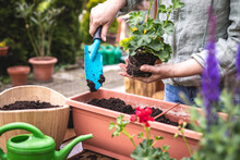 Planting Geranium Flowers Into Window Box At Backyard. Woman With Shovel Is Putting Soil In Flower Pot. Gardening In Spring