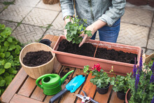 Planting Geranium Seedling Into Window Box And Flower Pot On Table. Woman Gardening At Backyard In Springtime