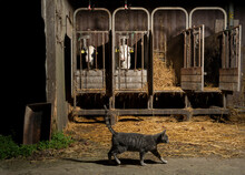 Tabby Cat Crossing Caged Cows On Modern Dairy Farm, Wyns, Friesland, Netherlands