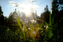 Field With Backlit White Wildflowers, Close Up