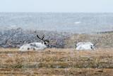Svalbard reindeers (Rangifer tarandus), lying down during tundra snowfall. Varsolbukta, Bellsund bay, Van Mijenfjorden,, Spitsbergen, Svalbard, Norway