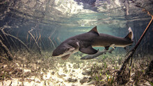 Underwater View Of Baby Lemon Shark Swimming Amongst Mangroves, Alice Town, Bimini, Bahamas