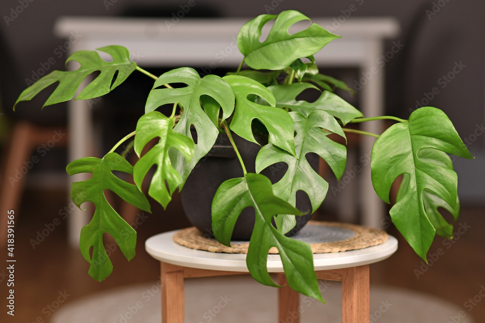 Fototapeta Tropical 'Rhaphidophora Tetrasperma' houseplant with small leaves with holes in black flower pot on coffee table