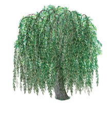 Botanic Watercolor Realistic Hand Drawn Illustration Of Weeping Willow Tree  (salix Babylonica) Isolated On White