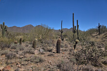 Large Saguaro Cactus In The Background With Teddy Bear Cholla  Cactus In The Foreground