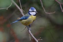 Eurasian Blue Tit (Cyanistes Caeruleus)  Singing On A Branch