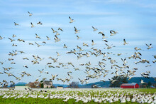 Thousands Of Migrating Snow Geese Descend On Farmland In The Skagit Valley. These Birds Migrate From Wrangel Island In Alaska And Overwinter On Farmland In †he Skagit Valley, Washington.