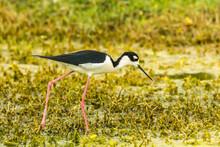 USA, Florida, Lake Apopka. Black-necked Stilt Bird Close-up.