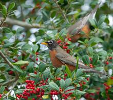 American Robin Feeding On Palatka Holly, Florida, USA.