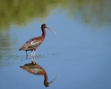 Glossy Ibis, Orlando Wetlands, Florida, USA.