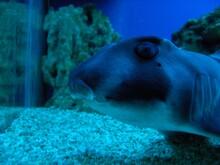 Close On To Port Jackson  Shark In A Fish Tank  Heterodontus Portusjacksoni  Eye Head  Nocturnal Oviparous (egg Laying) Type Of Bullhead Shark Of The Family Heterodontidae, Found In The Coastal