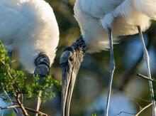 Wood Storks Building Nest, Florida Rookery.