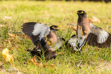 USA, Hawaii, Hapuna Beach State Park. Common Myna Birds Fighting.