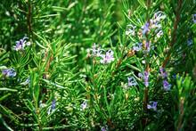 Rosemary (Rosmarinus Officinalis) Bush With Small Blue Flowers