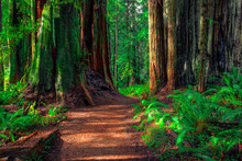Path Through The Forest, Redwoods National And State Parks, California