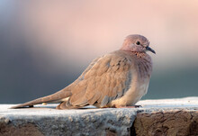 The Laughing Dove Is A Small Pigeon That Is A Resident Breeder In Africa, The Middle East,