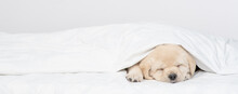 Golden Retriever Puppy Sleeps Under White Warm Blanket On A Bed At Home. Empty Space For Text