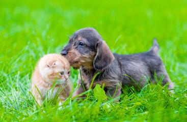 Dachshund puppy kisses ginger kitten on green summer grass