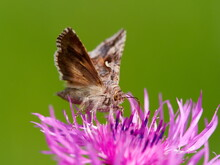 Brown Moth On Beautiful Purple Blooming Flower With Green Background (Autographa Gamma)