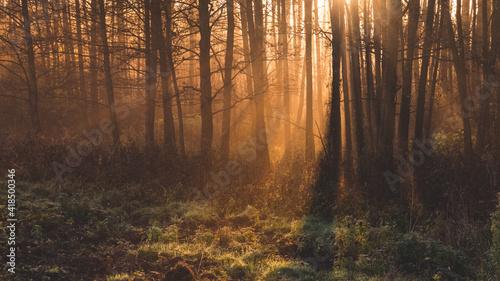 Fototapeta Promienie słońca pośród drzew o poranku obraz
