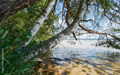 Birch tree in lake beach © PixieMe