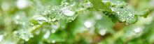 Water Drops On Leaf At Nature Close-up Macro.