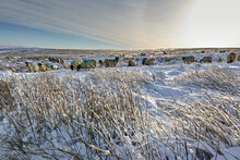 A Flock Of Dalesbred Sheep Graze On Snowy Moorland In Yorkshire