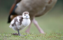 Close Up Of A Cute Egyptian Goose Gosling
