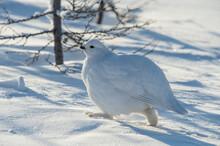 Arctic Partridge In Winter Plumage